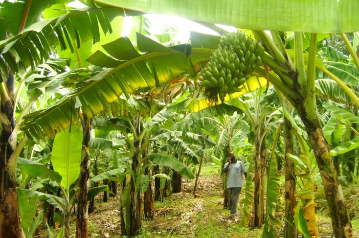 Image result for plantation farming in nigeria